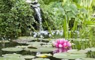 nenuphare jardin aquatique